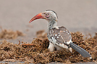 Southern Red-Billed Hornbill, Kruger National Park, South Africa