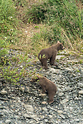 Brown bear spring cubs climb up a bluff to hide from a threat along the lower lagoon at the McNeil River State Game Sanctuary on the Kenai Peninsula, Alaska. The remote site is accessed only with a special permit and is the world's largest seasonal population of brown bears in their natural environment.