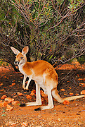 Red Kangaroo (Macropus rufus) are the largest of all kangaroos, the largest mammal native to Australia, and the largest surviving marsupial. They are found across mainland Australia, avoiding only the more fertile areas in the south, the east coast, and the northern rainforests.