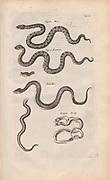 Copperplate print from Johannes Jonston book of nature 'Dr. I. Ionstons Beschrijving vande natuur der vogelen neffens haer beeldenissen in koper gesneden' Published in Amsterdam in 1660