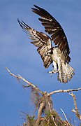 An osprey lands on a small cypress limb at Blue Cypress Lake, Florida. Osprey will circle around and fly into the wind as they land, to help brake their momentum as they descend towards their target.