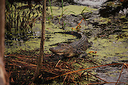 This is a photograph of an alligator at Daggerwing Nature Center in Boca Raton, Florida.