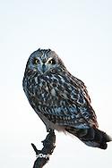 01113-01403 Short-eared Owl (Asio flammeus) on snag, Prairie Ridge State Natural Area, Marion Co., IL