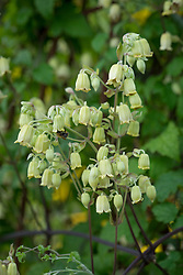 Clematis rehderiana (nodding virgin's bower) syn. Clematis buchananiana Finet & Gagnep, Clematis nutans Becket