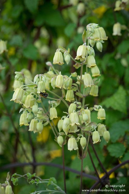 Clematis rehderiana (nodding virgin's bower) syn. Clematis buchananiana Finet & Gagnep, Clematis nutans Becket