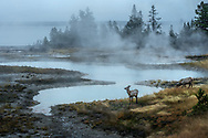 Yellowstone can be really pretty on cold frigid stormy mornings; that is if you can actually drag yourself out of your sleeping bag and go shoot. Once in a while, you get rewarded with a gang of elk grazing on whatever remained on the ground.