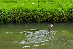 Aalscholver, Phalacrocorax carbo