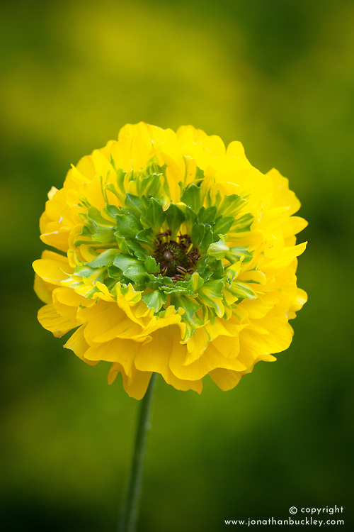Ranunculus 'Elegance Giallo Festival'. Yellow/Green