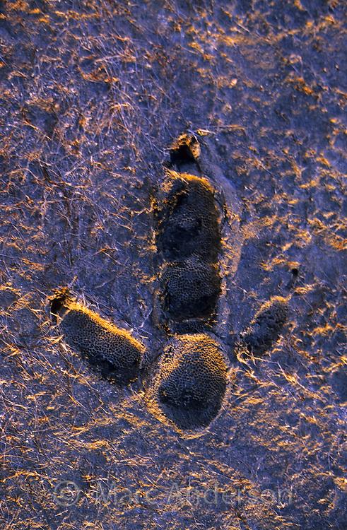 An Emu footprint in mud, South Australia.
