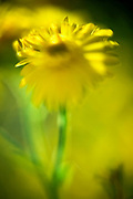 Closeup crop of a vibrant yellow Daisy