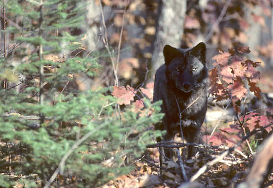 Gray Wolf, (Canis lupus) One black colored wolf standing in timber. Late fall. Michigan.   Captive Animal.