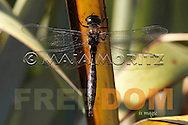 """Dragonfly Magic"" is the title of this photograph of a dragonfly, the art photography image is part of the FREEDOM exhibition at AOTUROA Photo Art Gallery 17 November 2013 to 09 March 2014, it also is printed in the month of November in the NZ FREEDOM Calendar 2014, and is #11 of the 14 photographs of the FREEDOM series, which is printed with the text ""FREEDOM is magic"" on greeting cards"