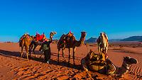 Bedouin man and camels, Arabian Desert, Wadi Rum, Jordan.