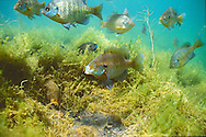Group of spawning Bluegill<br />