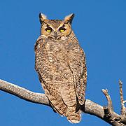 Great Horned Owl, Eastern Sierra, California