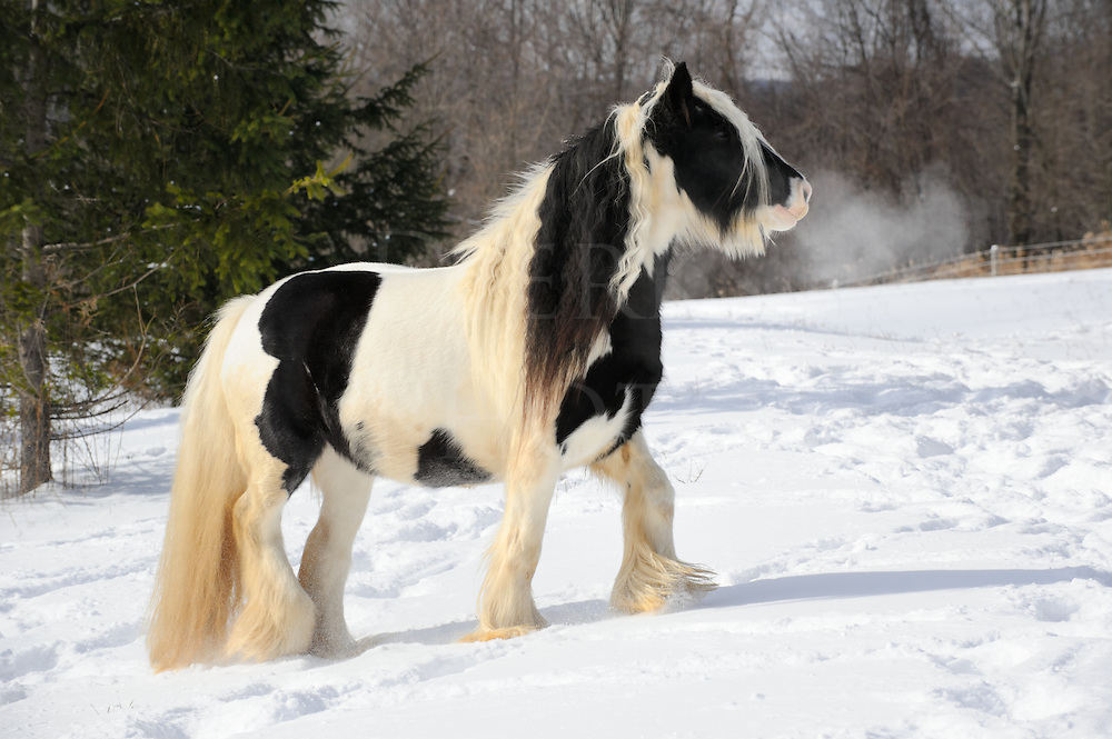 Horse moving through fresh winter snow in sunlight, a black and white Gypsy Vanner with long hair in side view with breath showing in the cold air, a pregnant mare in a rural scene in Pennsylvania, PA, USA.