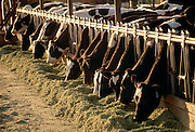 IDAHO . Canyon County . Nampa . Cows lined up along fence eating hay in morning light in summer .