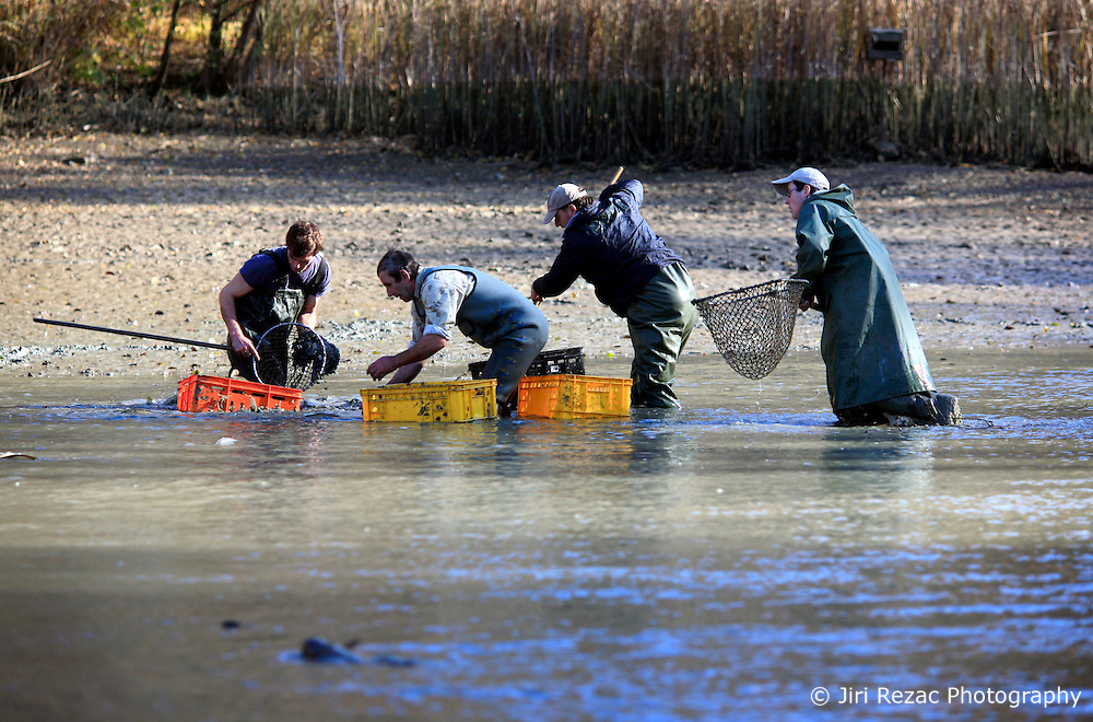 CZECH REPUBLIC MORAVIA BOJKOVICE 30OCT10 - Villagers harvest carp and other fish from a private pond near Bojkovice. ..Breeding carp and catching the fish by emptying the pond is an age-old tradition, as carp is the traditional Christmas Day dish in the Czech lands. In Bojkovice, the occasion occurs once every four years...jre/Photo by Jiri Rezac..© Jiri Rezac 2010