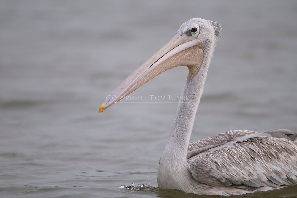 great white pelican Pelecanus onocrolatus