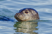 Harbor seal in Hamburgbukta on the northwest coast of Spitzbergen in Svalbard, Norway.