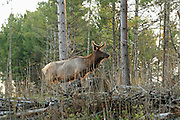Large bull elk from the Clam Lake herd in northern Wisconsin