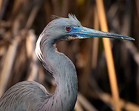"A stunningly beautiful tricolored heron searches for frogs and small fish on the edge of a ""gator pond"" in the Big Cypress National Preserve in Southern Florida."
