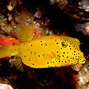 Yellow Boxfish inhabit reefs. Pictue taken Lembeh Straits, Sulawesi, Indonesia.