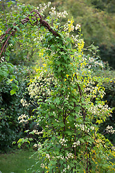 Tropaeolum peregrinum - Canary Creeper - growing over an arch with Clematis rehderiana  syn. Clematis buchananiana Finet and Gagnep, Clematis nutans Becket. Nodding virgin's bower