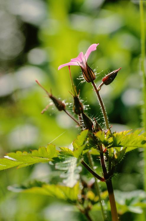 Robertskruid, Geranium robertianum
