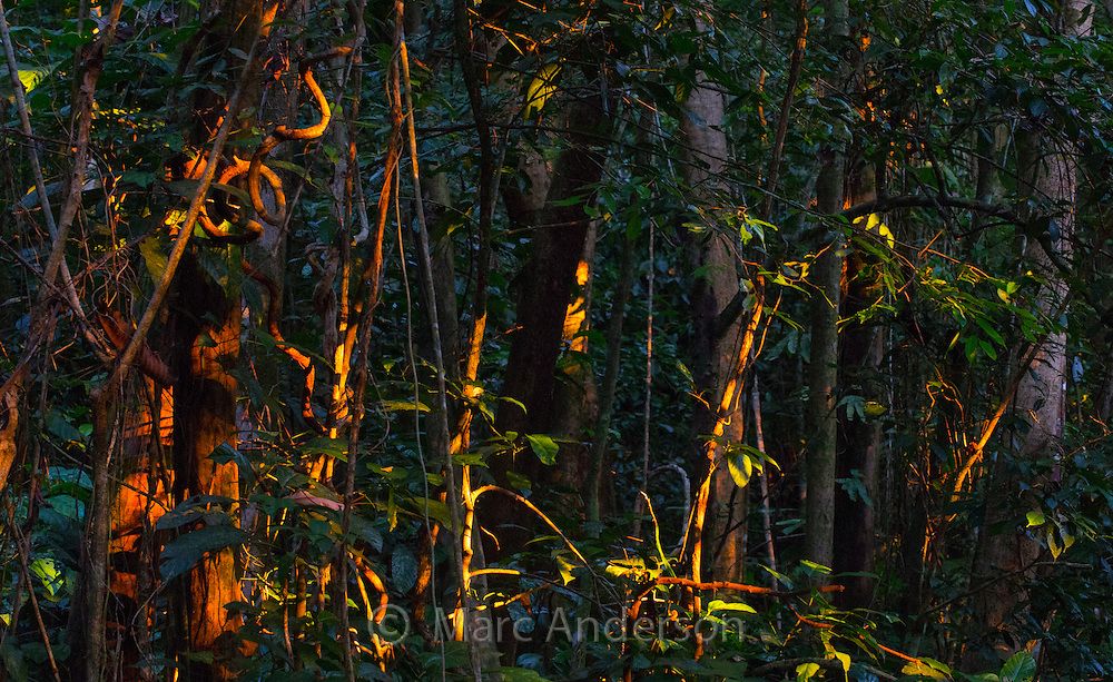 Warm dusk light on rainforest vines and vegetation, Kubah National Park, Sarawak, Borneo