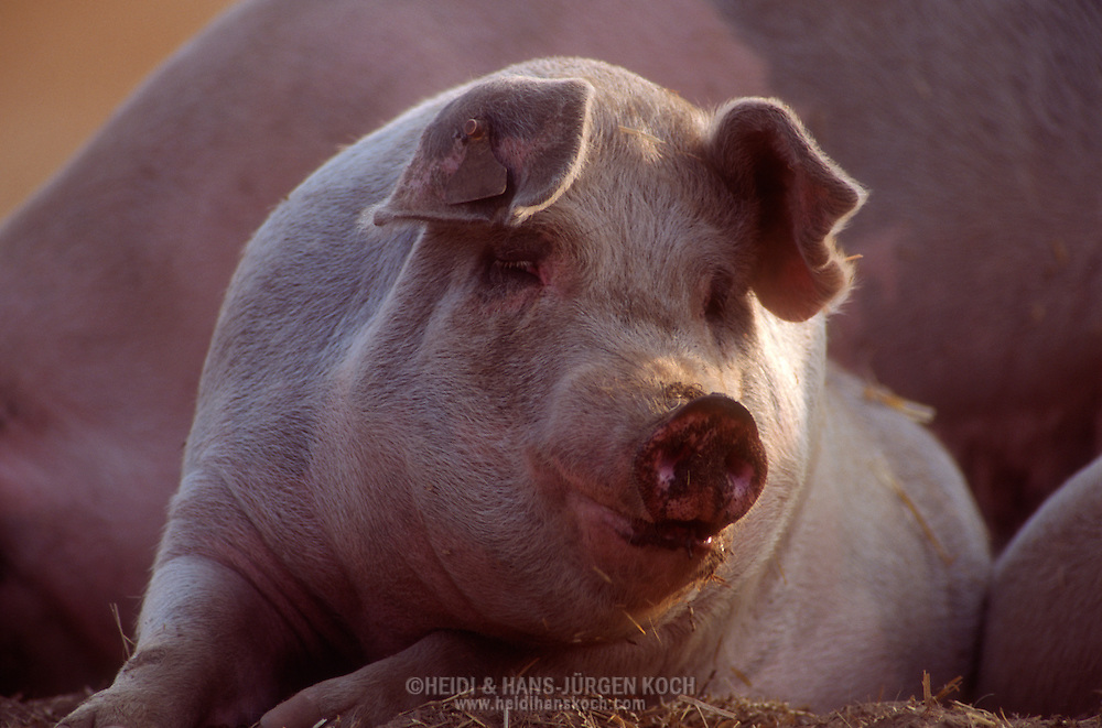 DEU, Deutschland: Hausschwein (Sus Scrofa f. domestica), Sau liegt, blickt sich neugierig um, Seedorf, Schleswig-Holstein | DEU, Germany: Domestic pig (Sus scrofa f. domestica), sow laying, curious looking around, Seedorf, Schleswig-Holstein |
