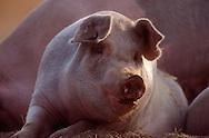 DEU, Deutschland: Hausschwein (Sus Scrofa f. domestica), Sau liegt, blickt sich neugierig um, Seedorf, Schleswig-Holstein | DEU, Germany: Domestic pig (Sus scrofa f. domestica), sow laying, curious looking around, Seedorf, Schleswig-Holstein |