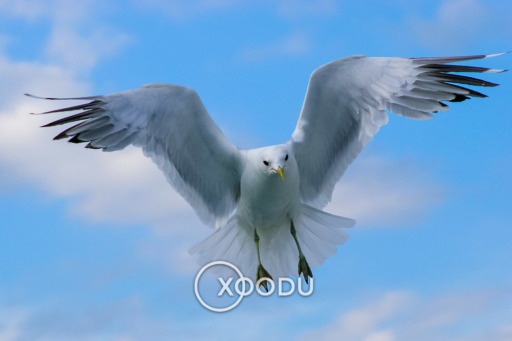 Bird in flight (seagull), (none), Norway (August 2006)