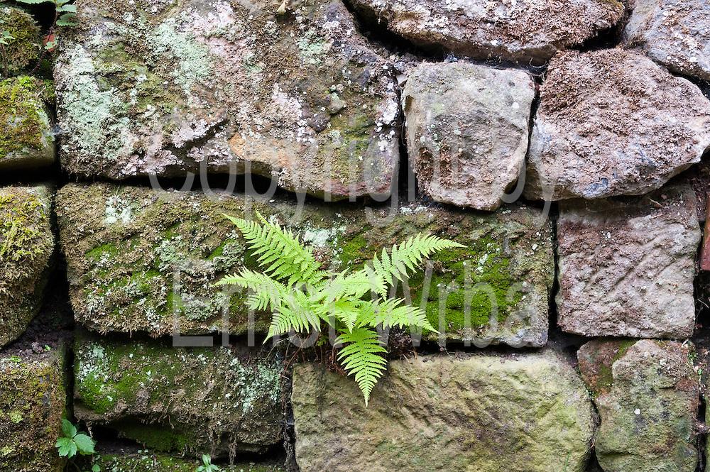 Sandsteinmauer mit Moos und Farn, Sächsische Schweiz, Elbsandsteingebirge, Sachsen, Deutschland | sand stone wall with moss and fern, Saxon Switzerland, Saxony, Germany