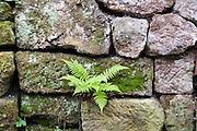Sandsteinmauer mit Moos und Farn, Sächsische Schweiz, Elbsandsteingebirge, Sachsen, Deutschland   sand stone wall with moss and fern, Saxon Switzerland, Saxony, Germany