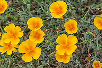 Easily one of the most recognized of West Coast wildflowers and the official state wildflower of California, the California poppy is found frequently in summer in open grasslands and open fields. Sometimes in spectacular washes of golden orange-yellow carpets, it will easily transform a landscape in ways that is hard to describe in mere words.