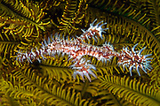Harlequin Ghost Pipefish (Solenostomus paradoxus) photographed in Lembeh Strait, Indonesia.