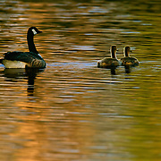 Goose and goslings treading water in spring light.
