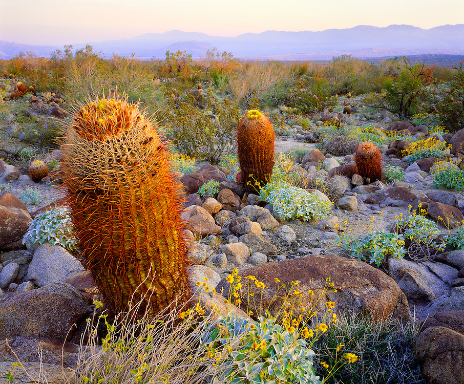 0660-1003 ~ Copyright:  George H. H. Huey ~ California barrel cactus [Ferocactus acanthodes] at dawn, with brittlebush.  Borrego Mountains in distance.   Mojave Desert.  Anza-Borrego State Park, California.