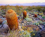 0660-1003 ~ Copyright:  George H. H. Huey ~ California barrel cactus [Ferocactus acanthodes] at dawn, with brittlebush.  Borrego Mountains in distance.   Mojave Desert.  Anza-Borrego State Park, California.