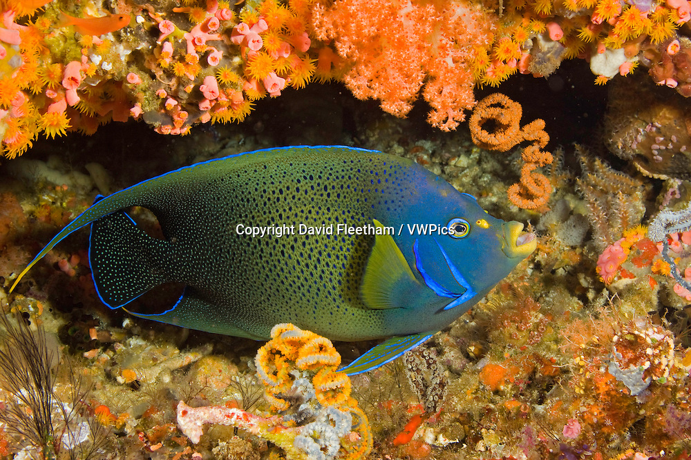 A semicircle angelfish, Pomacanthus semicirculatus, in a coral covered crevice, Komodo, Indonesia.