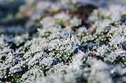 Spikes of hoarfrost glitter on low-growing thyme (Thymus prostratus), Bar Harbor, Maine.
