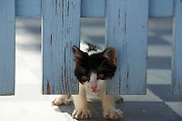 Grece, Cyclades, chat des Cyclades // Greece, Cyclades islands, Cyclades cat