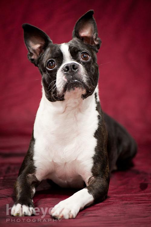 Boston Terrier black & white - owner Danielle Arthurs
