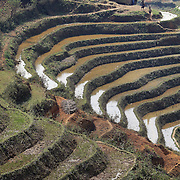 Black Hmong women head back to their village with collected wood carried in baskets on their backs as they pass terraced fields in the Highlands of Sapa, Northern Vietnam. Sapa and the surrounding highlands are close to the Chinese border in Northern Vietnam and is inhabited by highland minorities including Hmong and Dzao groups. Sapa is now a thriving tourist destination for travelers taking the night train from Hanoi. Sapa, Vietnam. 16th March 2012. Photo Tim Clayton