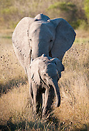 Young elephant and mother, Linyanti concession, Botswana