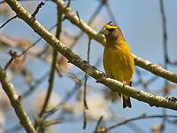 Evening Grosbeak (Coccothraustes vespertinus), Gabriola Island , British Columbia, Canada   Photo: Peter Llewellyn