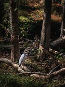 A blue Herron stands sentinel at the McKeliden Rapids in Patapsco Valley State Park near Ellicott City, Maryland.