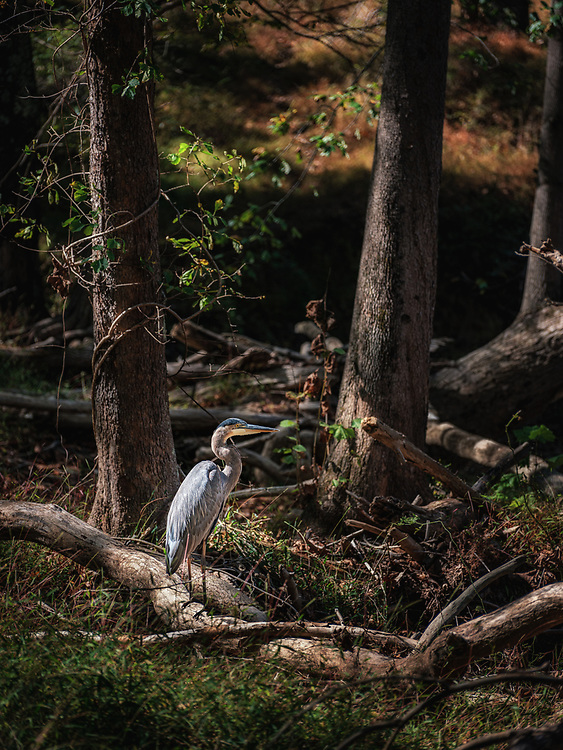 A blue Herron stands sentinel at the McKeliden Rapids in Patapsco Valley State Park near Ellicott City, Maryland.