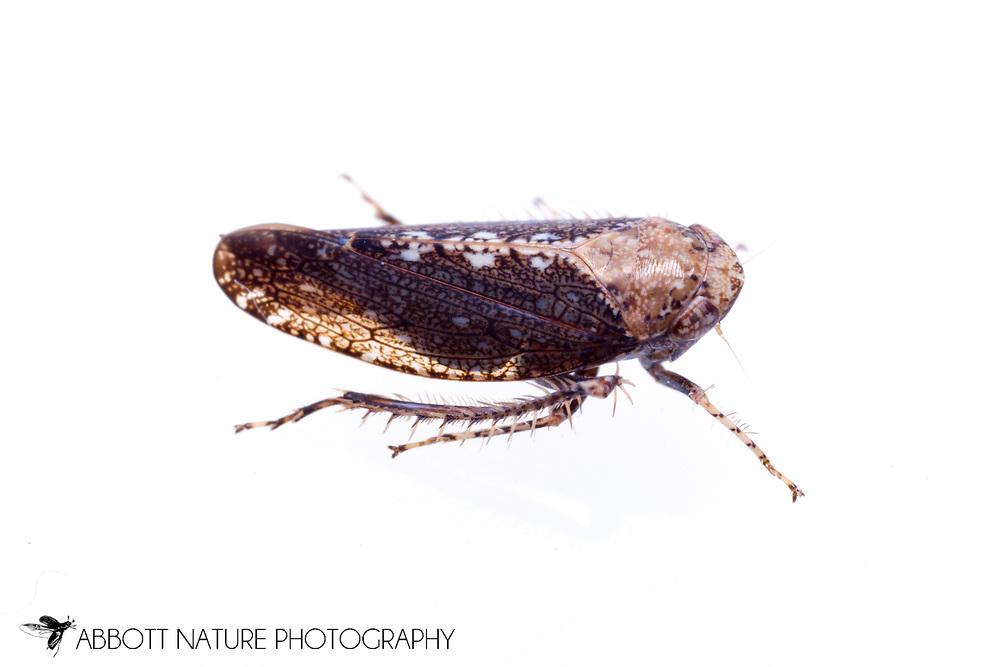 Leafhopper (Excultanus excultus)<br /> TEXAS: Jasper Co.<br /> Brookeland/Lake Sam Rayburn @ 505 Co Rd 212<br /> 10.June.2015<br /> J.C. Abbott #2739 &amp; K.K. Abbott